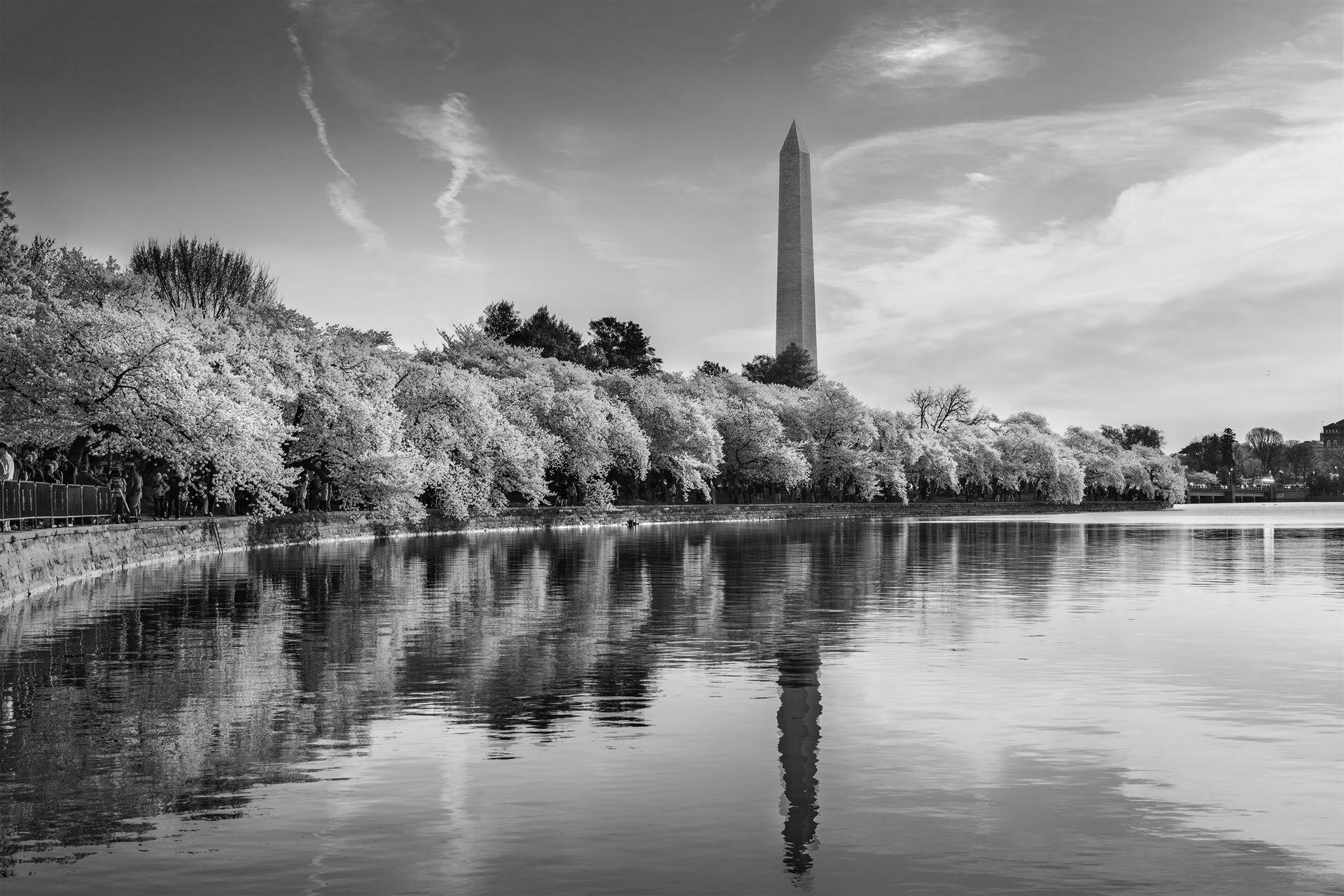 Black and White photo of Washington DC, USA at the tidal basin with Washington Monument in spring season.